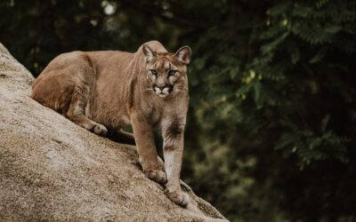 Preventing and Surviving Cougar Attacks
